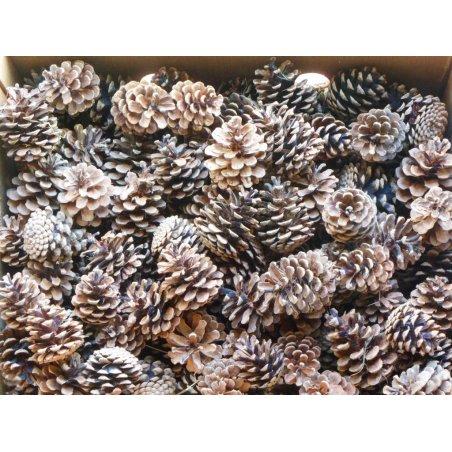 Šiška borovicová - prírodná 6 cm až 8 cm